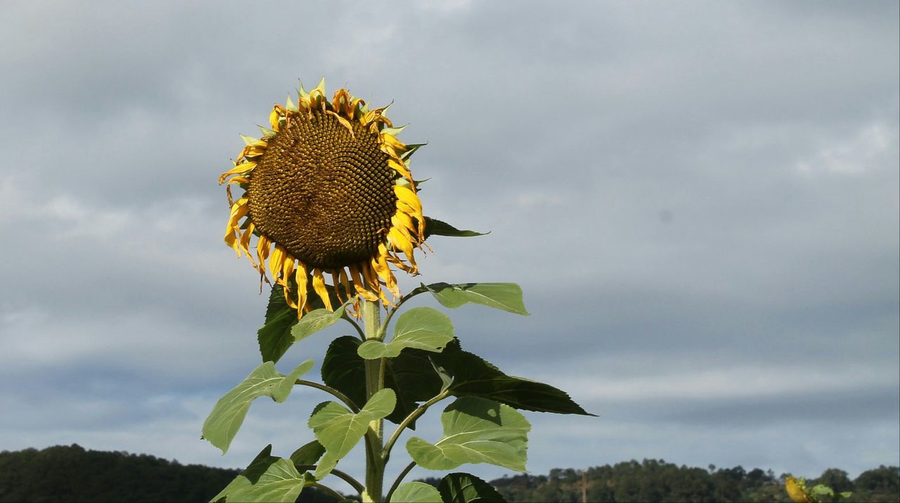 Almost sunset Sunflower Yellow Flower Nature Flower Beauty In Nature Blooming Freshness Plant Nofilter Photography