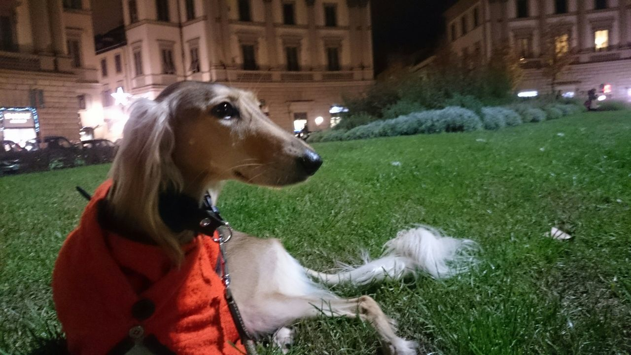 I Love My Dog Pet Photography  Cute Pets Dog Playing With The Animals Saluki today's night walk