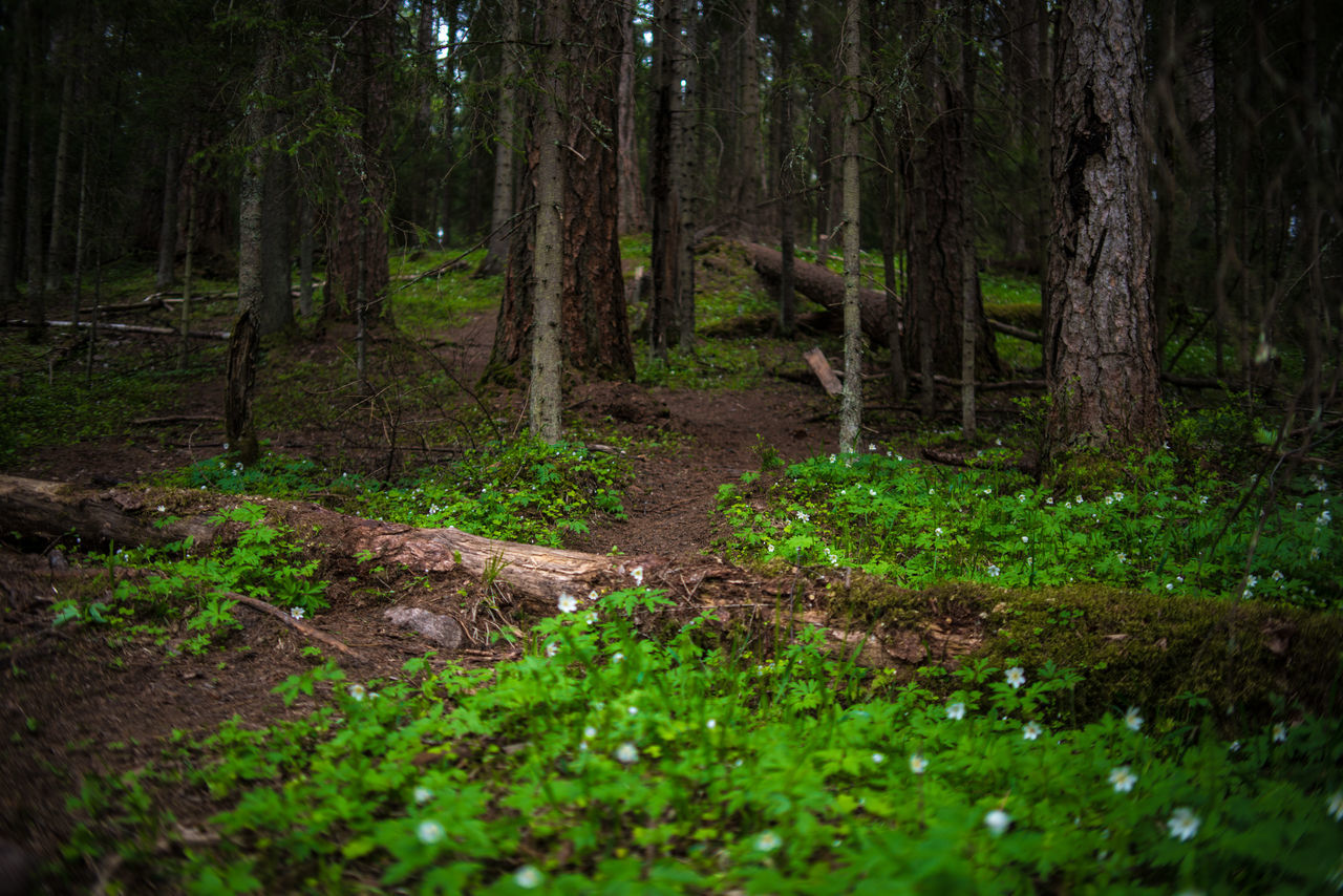 In Lintula larch forest Anemone Beauty In Nature Day Fallen Tree Forest Grass Green Color Larch Nature No People Outdoors Pathway Pathway In The Forest Scenics Spring Tranquility Tree Tree Trunk Wood Anemone Woods