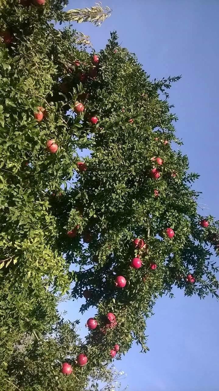 fruit, tree, growth, food and drink, low angle view, outdoors, day, growing, nature, freshness, no people, branch, healthy eating, food, green color, beauty in nature, orange tree, sky, close-up