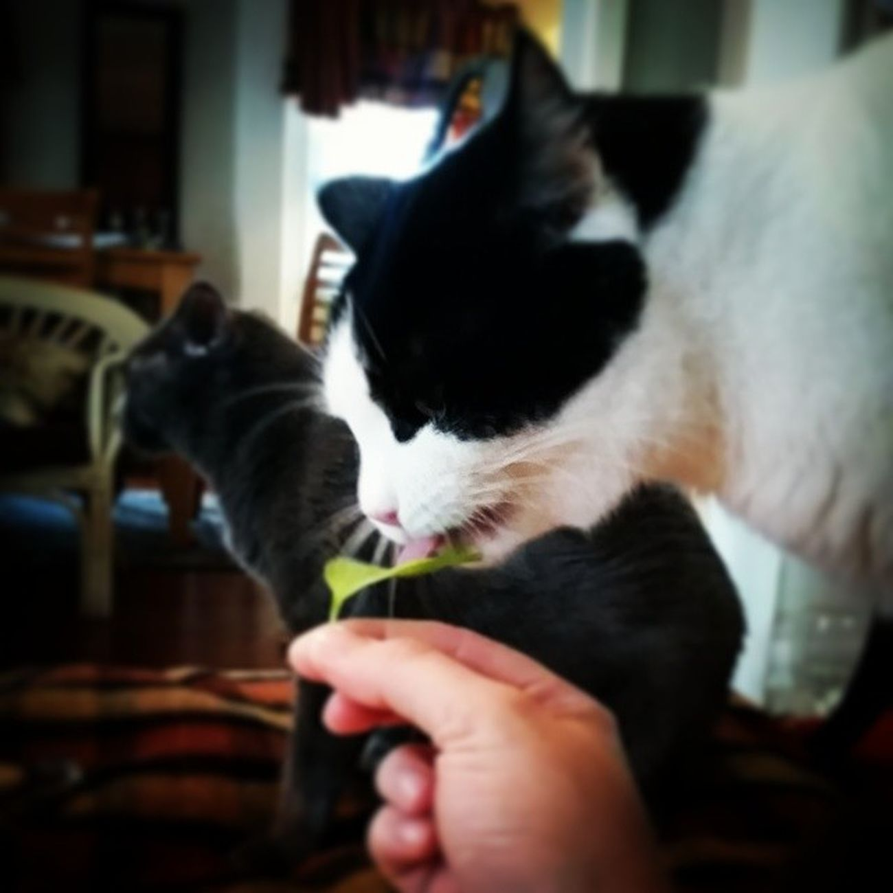 Richardthecat muching on some fresh basil from our garden!
