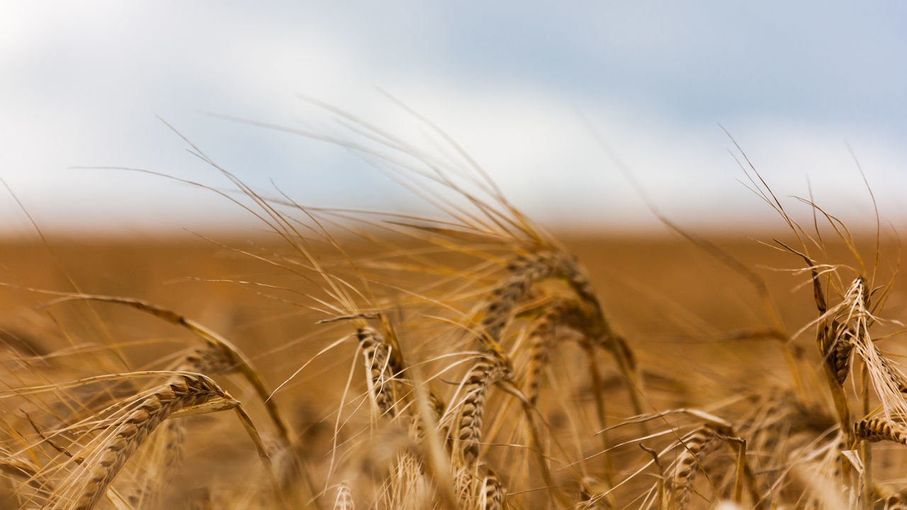 Agricultural Land Agriculture Beauty In Nature Close-up Day Grain Nature Nature No People Outdoors Rural Rural Landscape Wheat Wheat Field