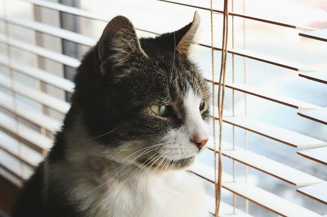 this little horror hasn't been well, we know he is feeling better now because he is back to being his moody, sultry self. Cat Evil Cats Of EyeEm Keeping Watch Window Cats Blinds