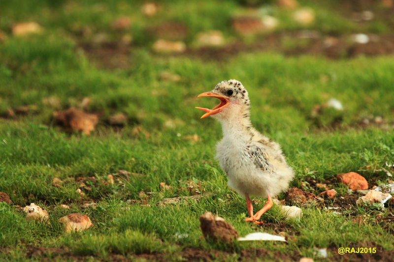 Animal Themes Animals In The Wild Bird Calling For Food Clarity Close-up Day Field Gosling Grass Green Color Growth Hungry Young One. Nature No People One Animal Outdoors Perfect Timing Rare Picture. River Turn (juvenile). Small Island In Bhadra, India. The Great Outdoors - 2017 EyeEm Awards Wildlife Photography Young Animal Young Bird