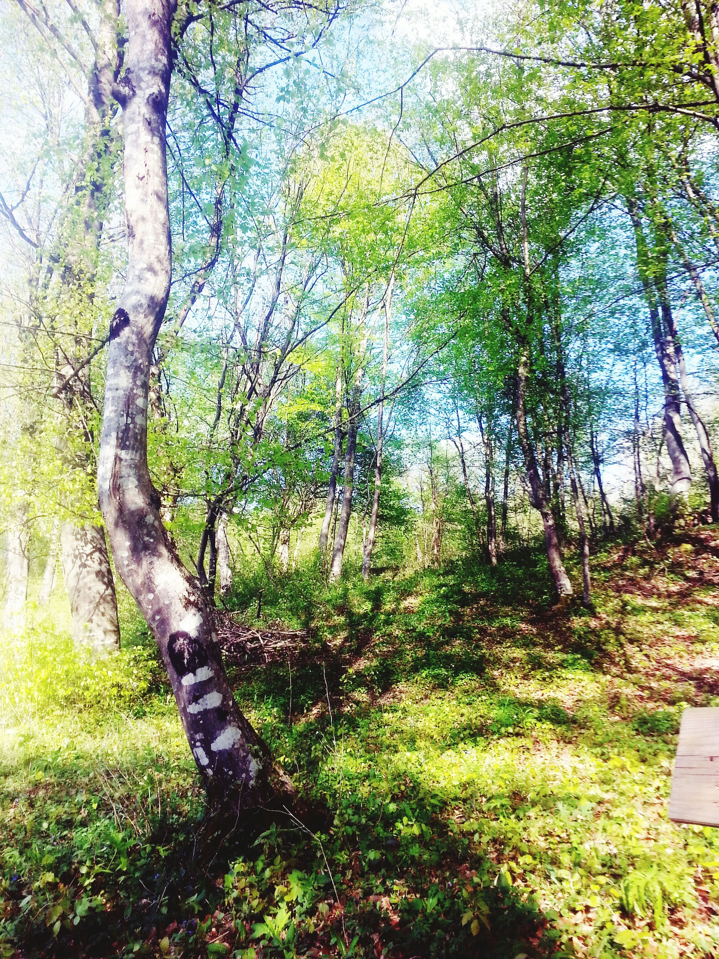 tree, tree trunk, growth, tranquility, forest, branch, tranquil scene, nature, green color, beauty in nature, grass, scenics, plant, woodland, non-urban scene, day, sunlight, outdoors, no people, landscape