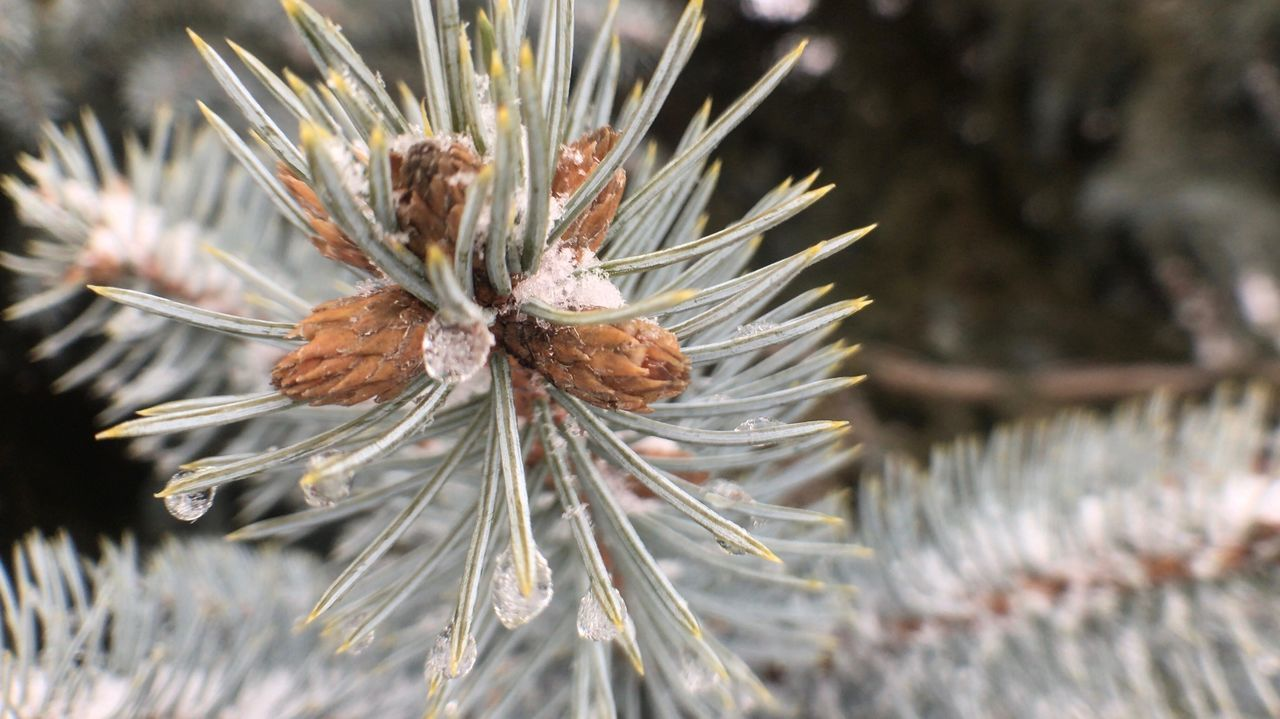 Nature Close-up Outdoors No People Growth Winter Beauty In Nature Day Cold Temperature Pine Cone Needle - Plant Part Wilted Plant Taking Photos Ice And Snow