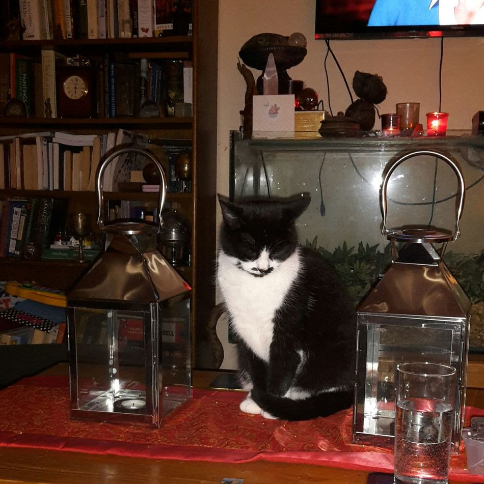 Cat Lanterns Table Pose Sleeping Cat Sitting Cat Indoors