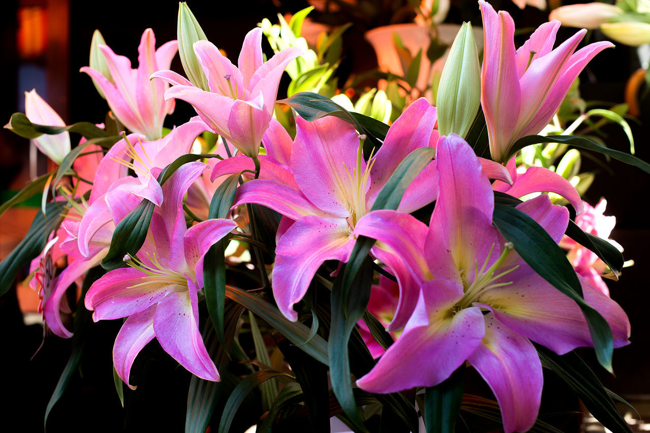 flower market Beauty In Nature Blooming Bouquet Close-up Day Flower Flower Head Fragility Freshness Garden Gardening Growth Lilies Lilies In Bloom Nature No People Nosegay Outdoors Petal Pink Color Plant