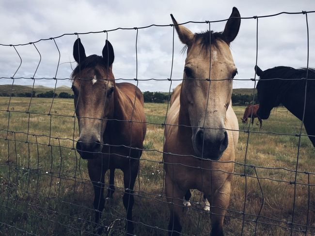 Animal Animal Pen Animal Themes Brown Domestic Animals Fence Field Grass Herbivorous Horse Livestock Mammal Nature No People Outdoors Ranch Rural Scene Standing Working Animal