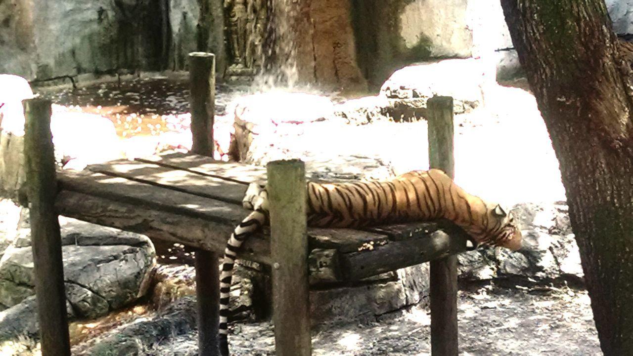 Animal Themes Outdoors Animals In The Wild Animal Wildlife Nature Malayan Tiger Panthera Tigris Jacksoni Tiger Tiger Stripes Endangered Species