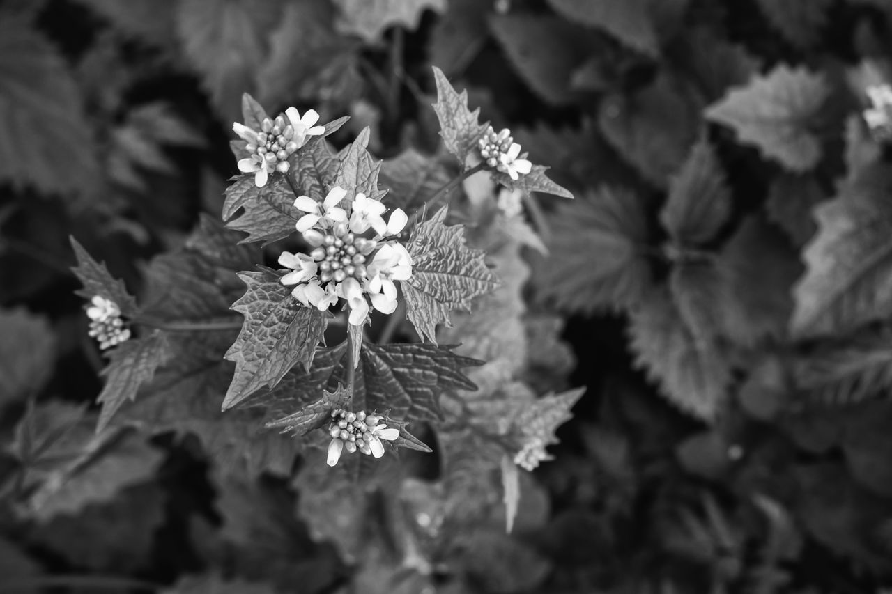Beauty In Nature Black And White Blackandwhite Blüte Brennnessel Brennnesselblüte Day Flower Flower Head Focus On Foreground Freshness Growth Leaf Nature No People Outdoors Plant Stinging Nettle Stinging Nettles The Great Outdoors - 2017 EyeEm Awards