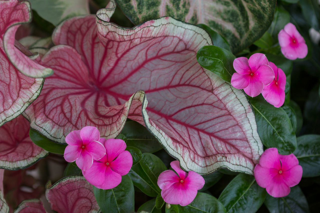 Periwinkle and caladium Beauty In Nature, Caladium Caladium Leaf Close Up Close Up Nature Freshness Periwinkle Pink Flowers Pink Periwinkle Purple And Pink Variegated Leaf Variegated Multicolored Multicolored Leaf