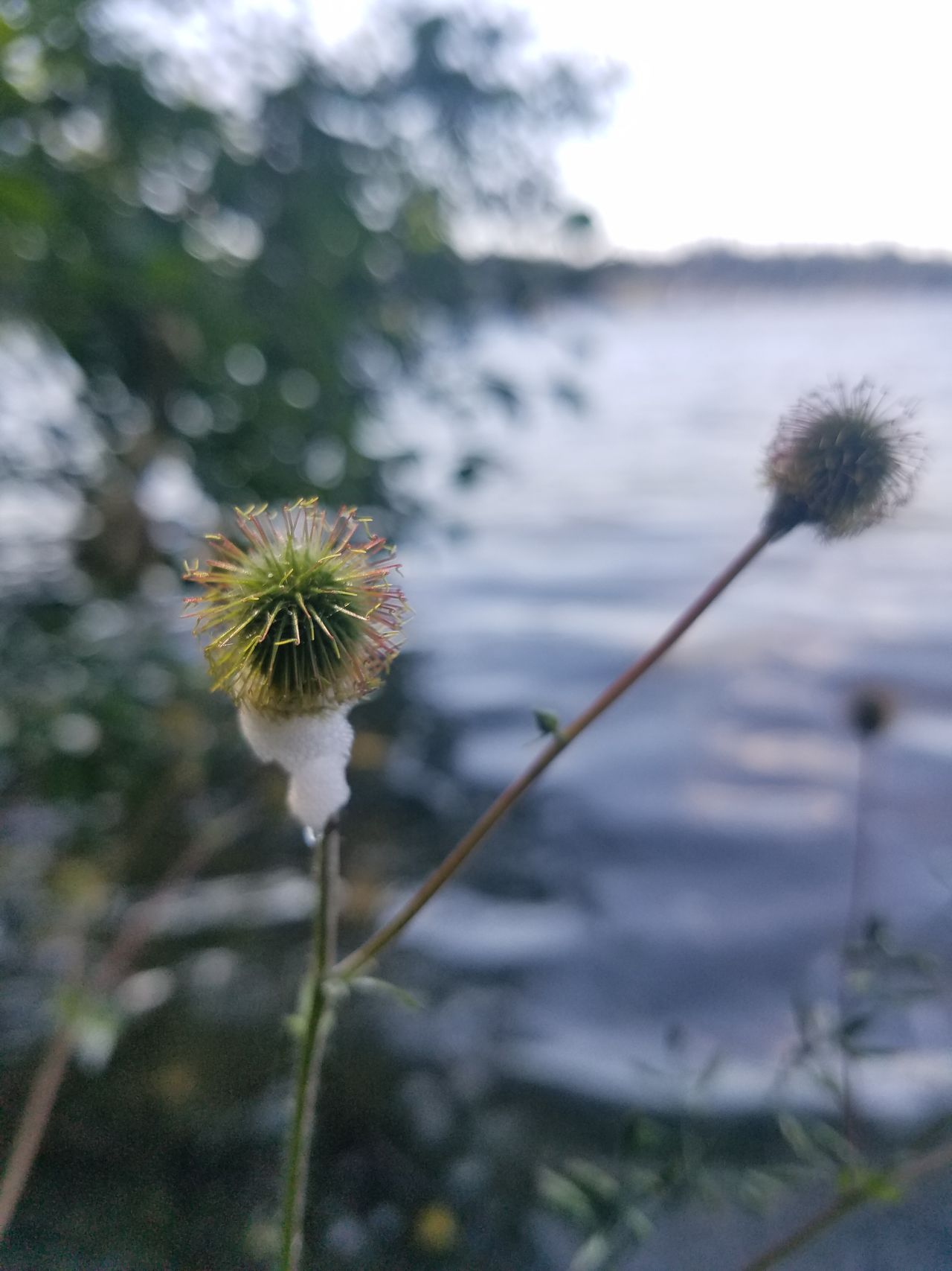 Flower Nature Fragility Plant Freshness Outdoors Botany Beauty In Nature Flower Head Growth Close-up Uncultivated Focus On Foreground Day No People Water Springtime Thistle Sky