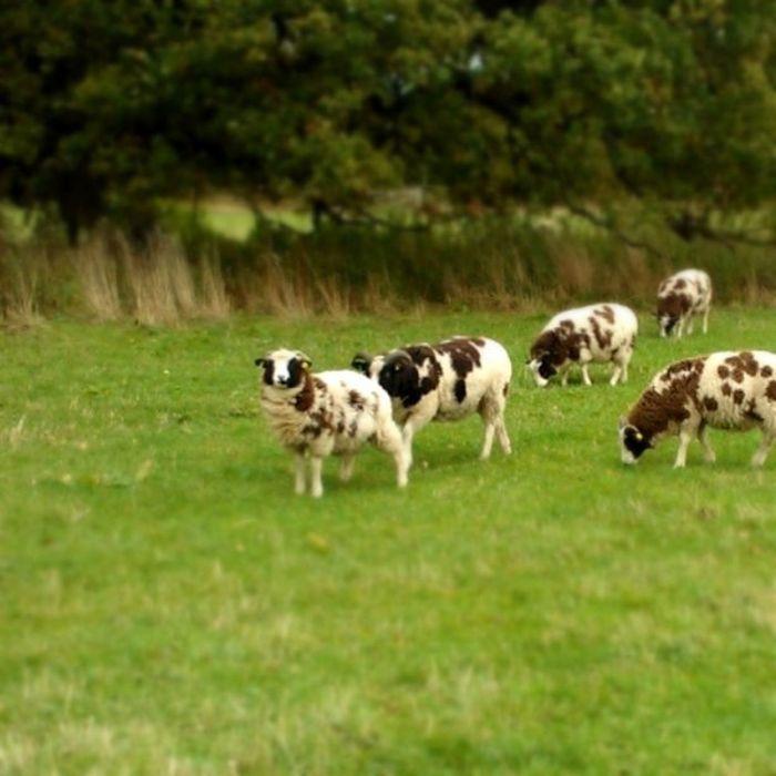 Britishcountryside is having fun. Sheep