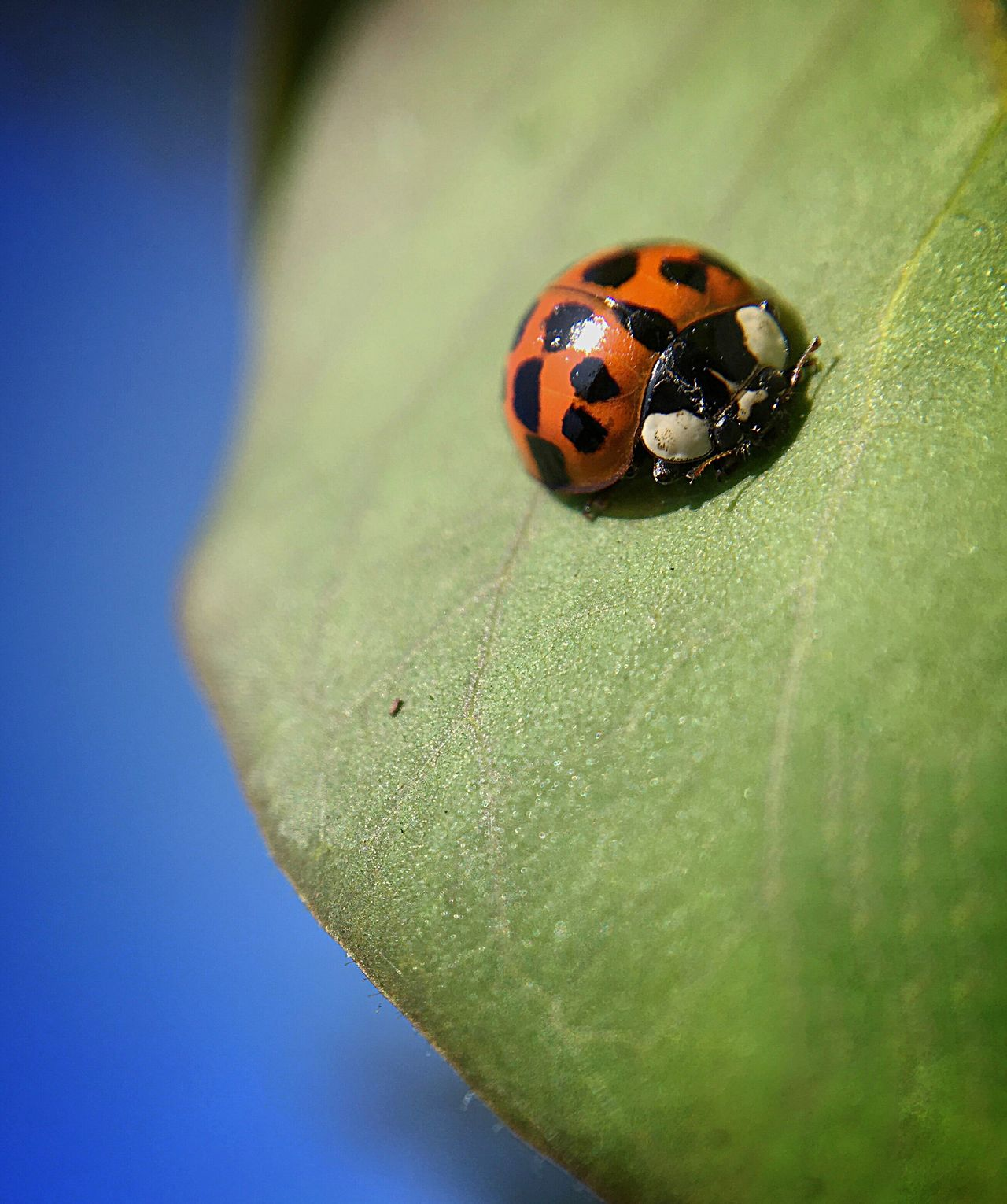 Ladybug Insect Animal Themes Ladybug One Animal Close-up Outdoors No People Tiny Leaf Garden Photography Beauty In Nature Fragility
