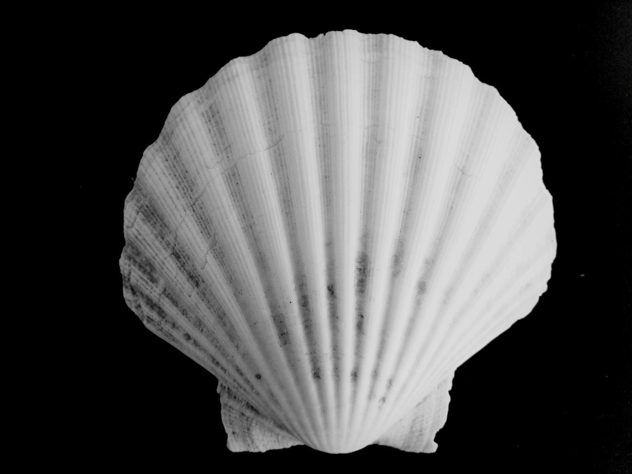 Black Background No People Close-up Space Seashell Sea Shell Summer Summertime Animal Animal Themes Animal Photography Animal Body Part Animal Backgrounds Backgrounds Beauty In Nature Vintage