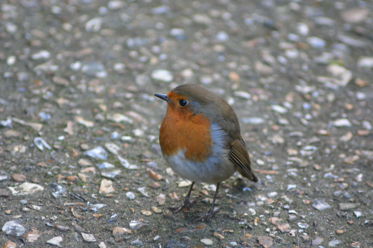 Animal Themes Animal Wildlife Animals In The Wild Bird Close-up Day Nature No People One Animal Outdoors Robin
