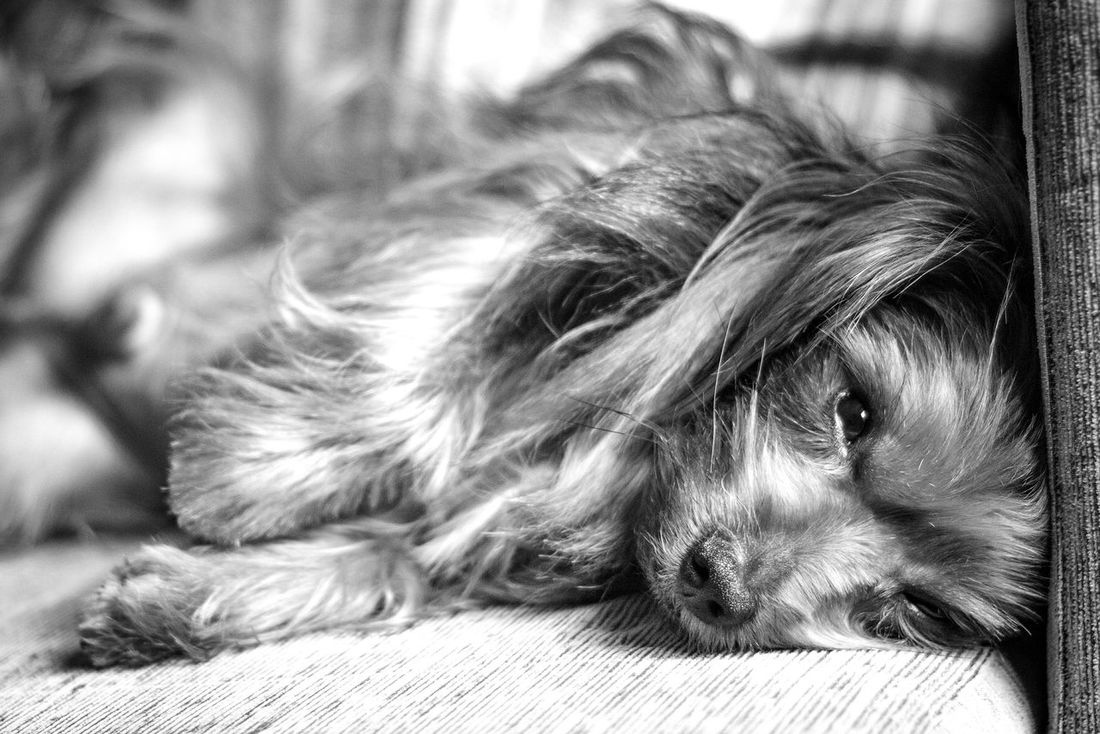 Pets Animal Themes One Animal Domestic Animals Mammal Dog Relaxation Indoors  Close-up No People Day Animals Animal Dogs Of EyeEm Dogs Yorkshireterrier Yorkshire Yorkshire Terrier Pets In The House Indoors