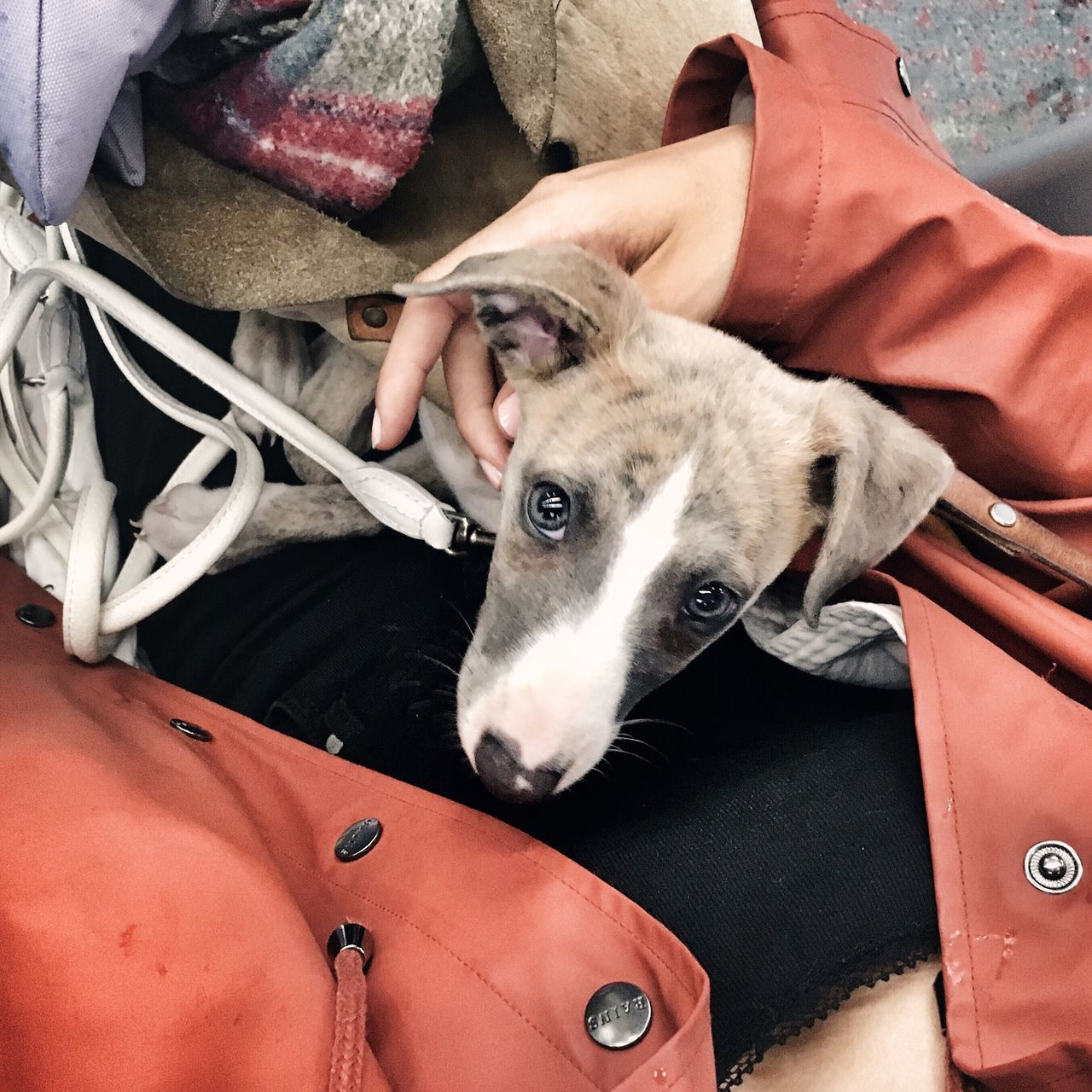 Pet On Public Transport Puppy On The Bus City Dog Whippet Whippet Puppy