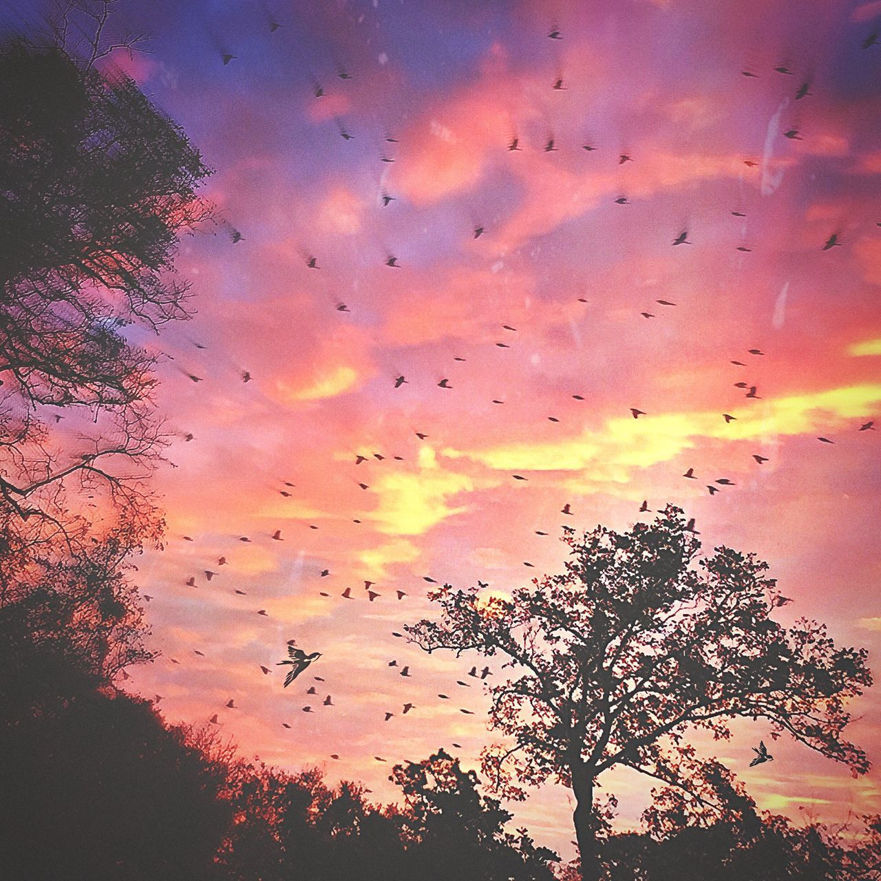 sky, tree, sunset, nature, large group of animals, beauty in nature, scenics, silhouette, tranquil scene, cloud - sky, no people, low angle view, flying, outdoors, flock of birds, rainbow, multi colored, animal themes, tranquility, migrating, animals in the wild, bird, day