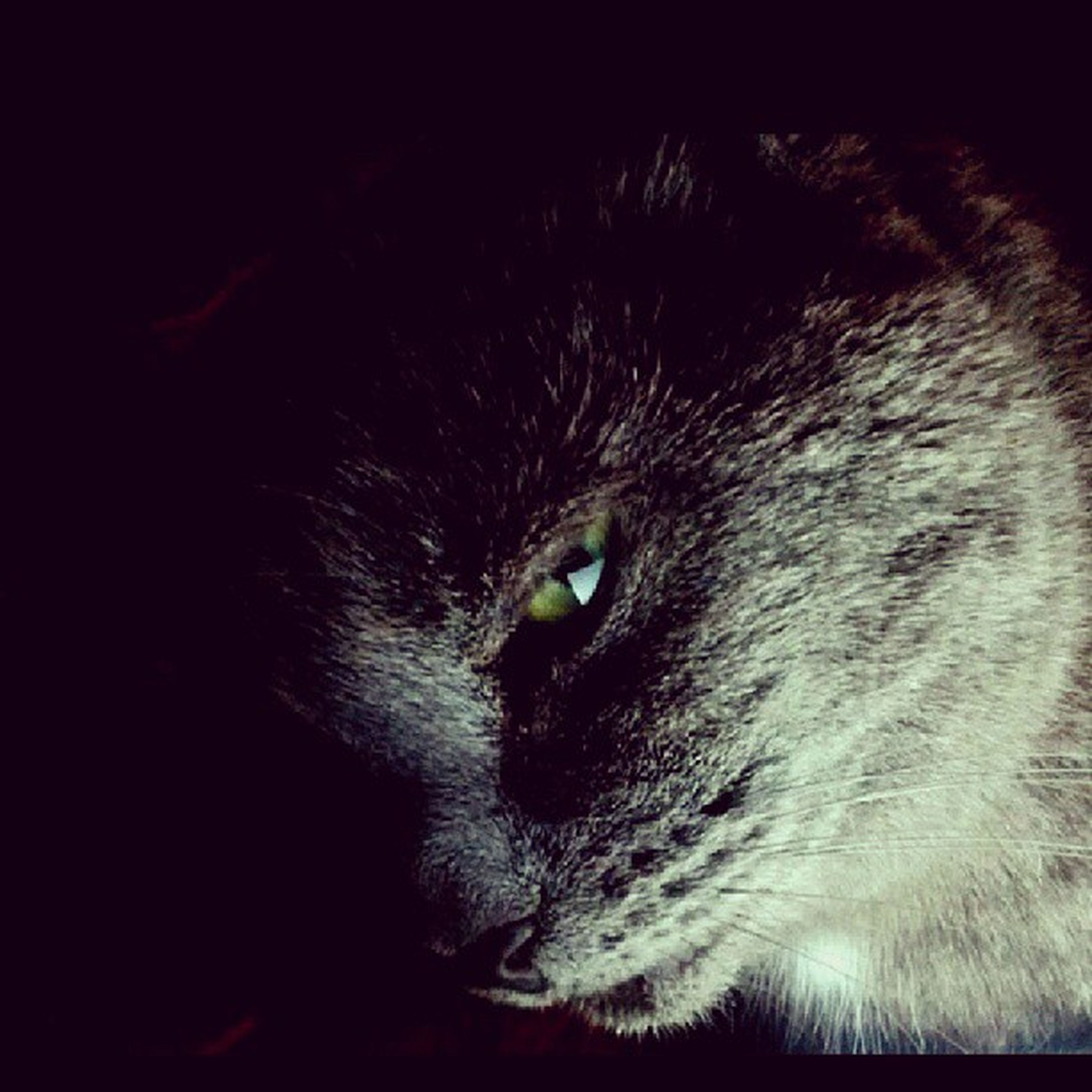 one animal, animal themes, pets, domestic cat, cat, domestic animals, animal head, close-up, mammal, feline, whisker, animal body part, animal eye, staring, portrait, indoors, looking away, black color, no people