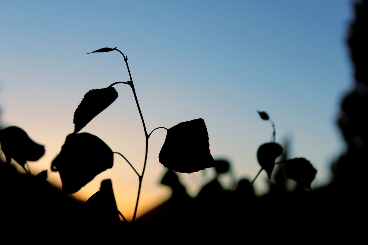 silhouette, nature, sunset, outdoors, beauty in nature, growth, no people, plant, sky, close-up, day, freshness