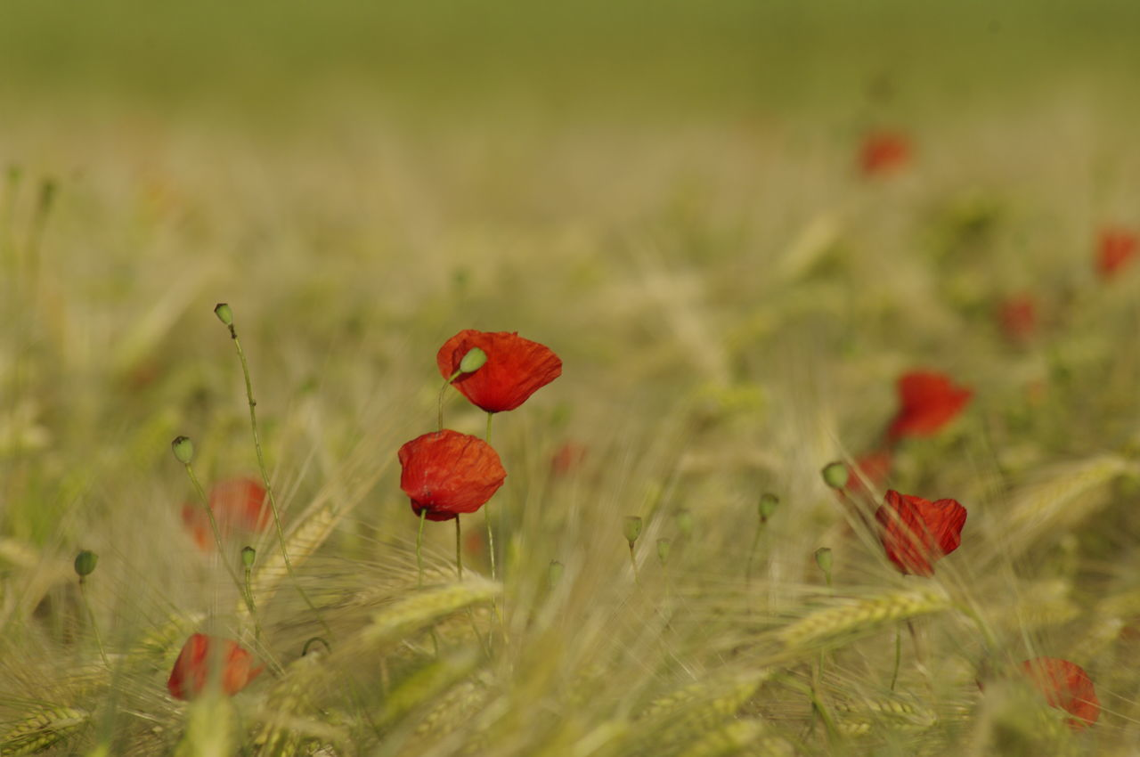 Beauty In Nature Close-up Day Field Flower Flower Head Fragility Freshness Grass Growth Nature No People Outdoors Plant Poppy Poppy Fields Poppy Flowers Red Wheat Fields