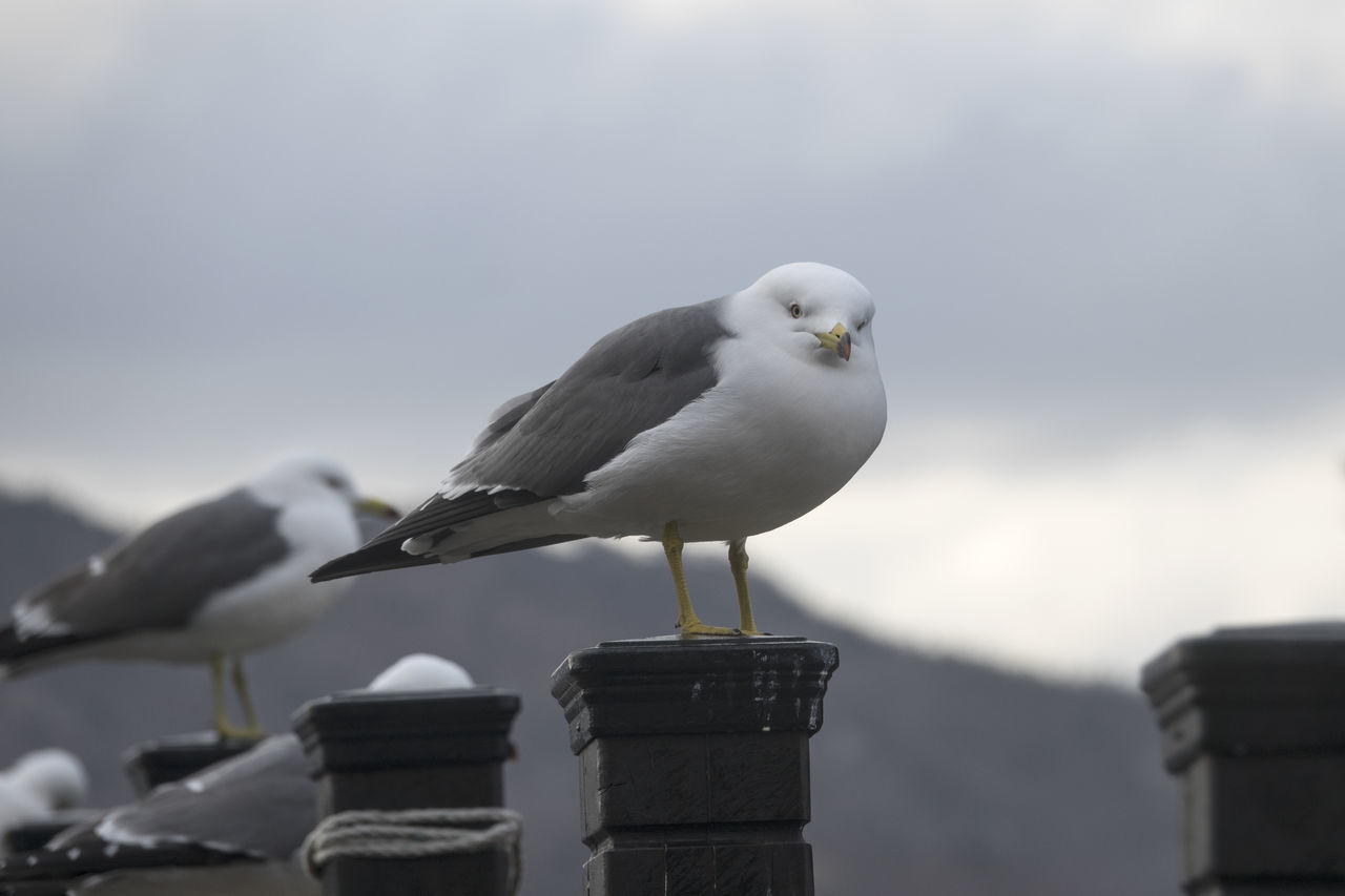 bird, seagull, animal themes, animals in the wild, one animal, perching, animal wildlife, black-headed gull, focus on foreground, day, sea bird, no people, outdoors, nature, close-up, sky