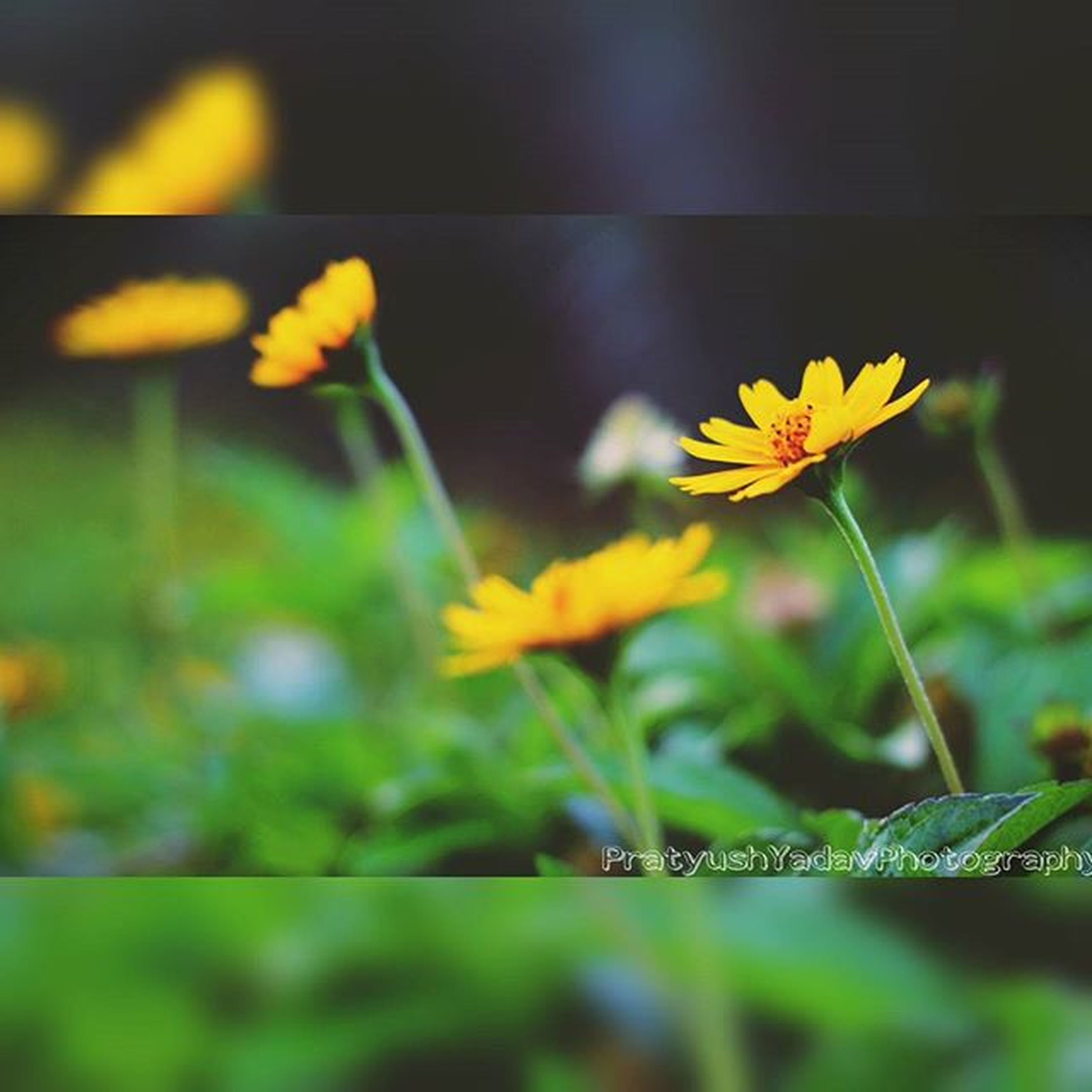 flower, petal, fragility, freshness, yellow, focus on foreground, growth, flower head, close-up, plant, beauty in nature, blooming, stem, nature, selective focus, in bloom, park - man made space, day, outdoors, sunlight