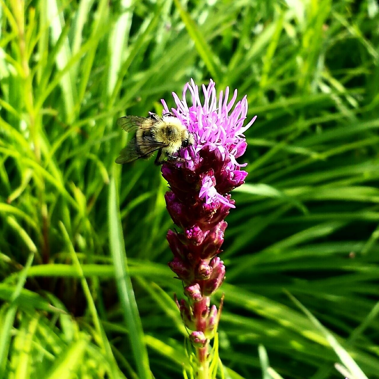 Flowers,Plants & Garden Flowers In My Garden Nature_collection Yardpic Bumble Bee Flower Collection Blazing Star Plantography EyeEm Nature Lover