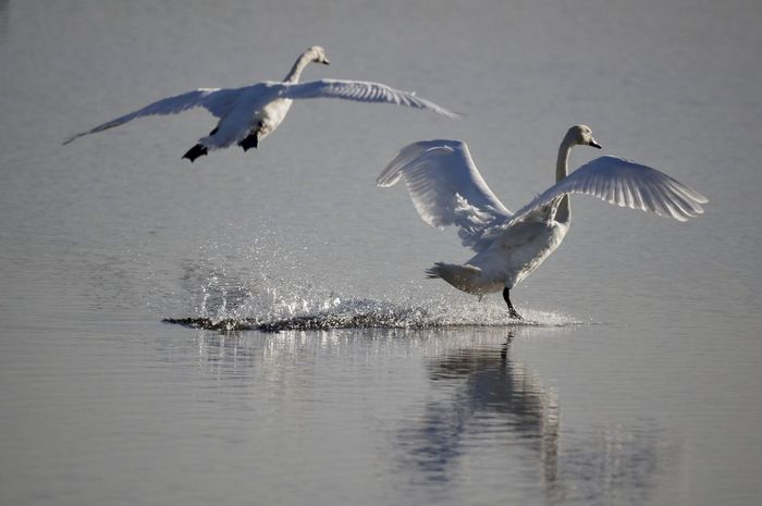 swans landing Animal Themes Animal Wildlife Animals In The Wild Beauty In Nature Bird Day Flying Lake Mid-air Motion Nature No People Outdoors Spread Wings Swans ❤ Water Waterfront