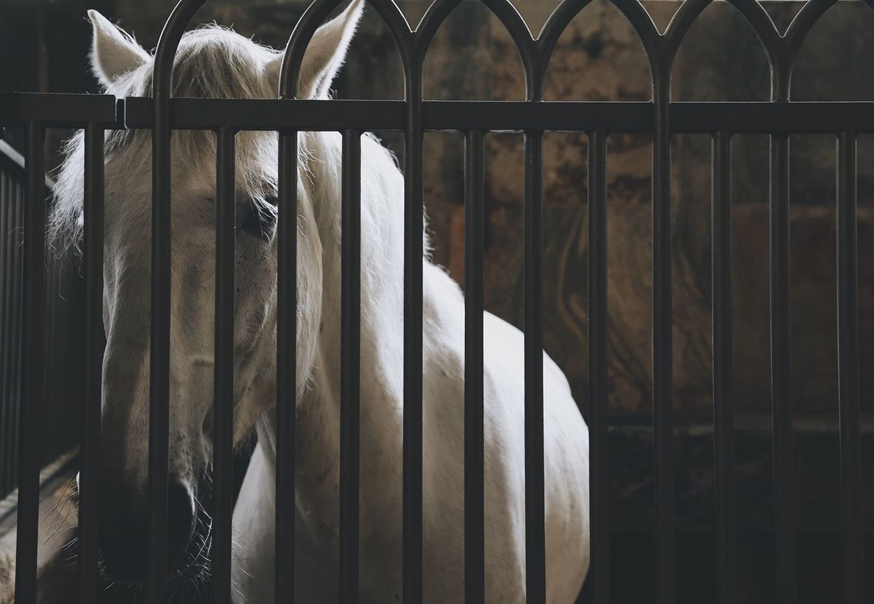 Mammal No People Indoors  One Animal Domestic Animals Day Animal Themes Nature Close-up Stable White Horse Indoors  Horse Stables Faded Color Horse Life