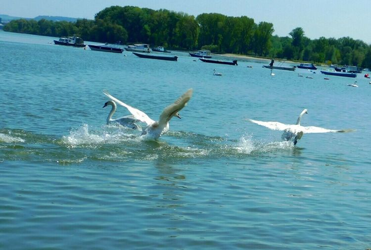 Bird Animal Themes Flying Animals In The Wild Motion Water Animal Wildlife Nature Swimming Zoology Swan Sky Outdoors No People Sea Water Bird Day Beach Beauty In Nature Belgrade,Serbia Zemun The Great Outdoors - 2017 EyeEm Awards