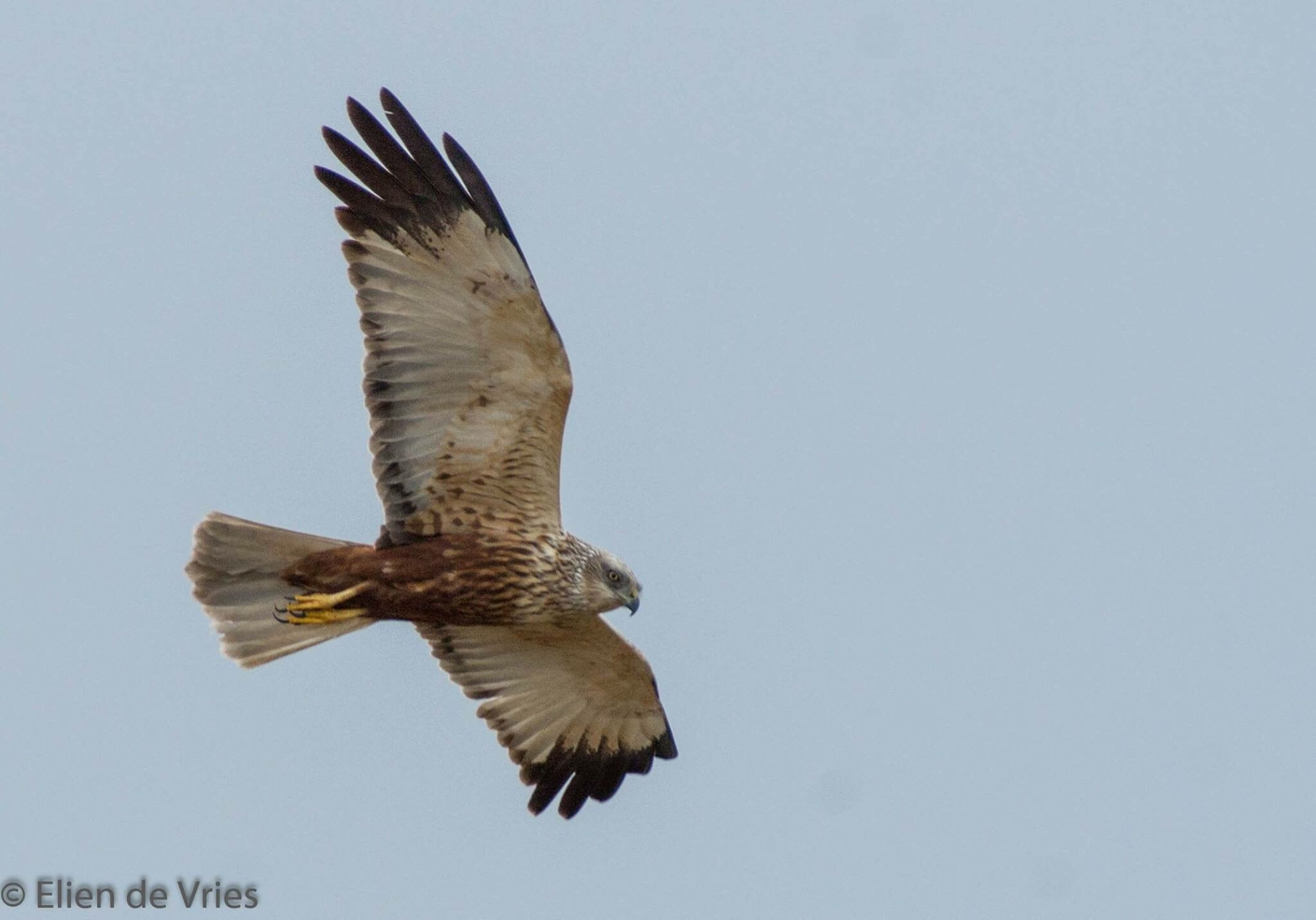 one animal, clear sky, flying, bird, spread wings, bird of prey, animals in the wild, animal wildlife, outdoors, day, no people, vulture, animal themes