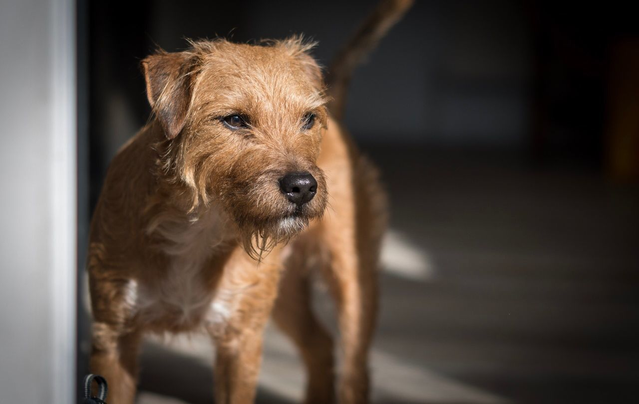 Waiting in the doorway Dog Pets One Animal Domestic Animals Looking At Camera Animal Themes Portrait Mammal Brown No People Close-up Indoors  Day Dog Portrait Dogs Of EyeEm Dog Love Pets Corner Pet Photography  Doorway Terriermix Terrier