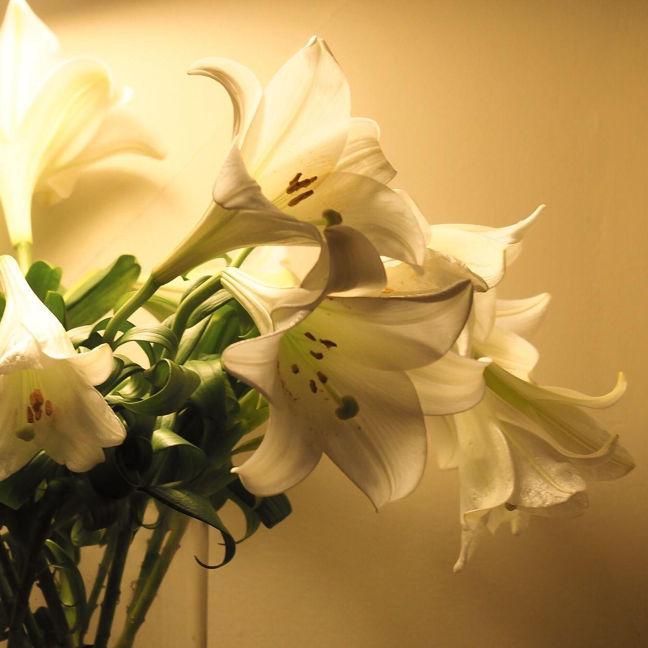 Lilies In Bloom White Lilies Flowers Cut Flowers Warm Indoors  Peaceful