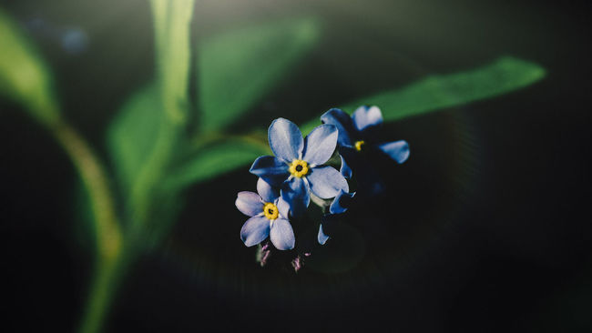 A Little Time Beauty In Nature Blooming Blue Botany Close-up Day Flower Flower Head Focus On Foreground Forget Me Not Fragility Freshness Garden Garden Photography Green Color Growth In Bloom Nature No People Outdoors Petal Plant Selective Focus Sheffield Uk