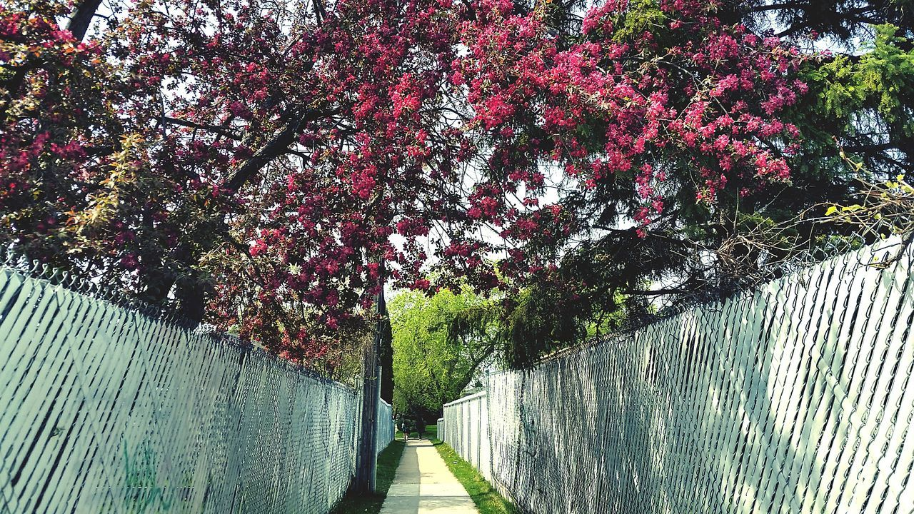 tree, growth, flower, nature, day, railing, beauty in nature, blossom, outdoors, no people, springtime, the way forward, walkway, footbridge, branch, freshness