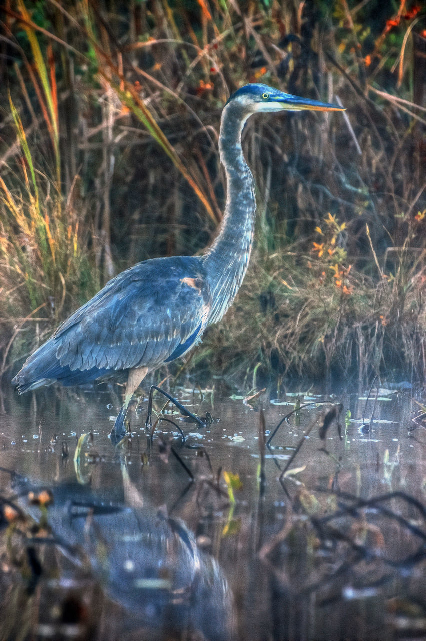 one animal, animals in the wild, animal themes, heron, animal wildlife, bird, great blue heron, gray heron, day, outdoors, water, no people, lake, nature, perching, close-up