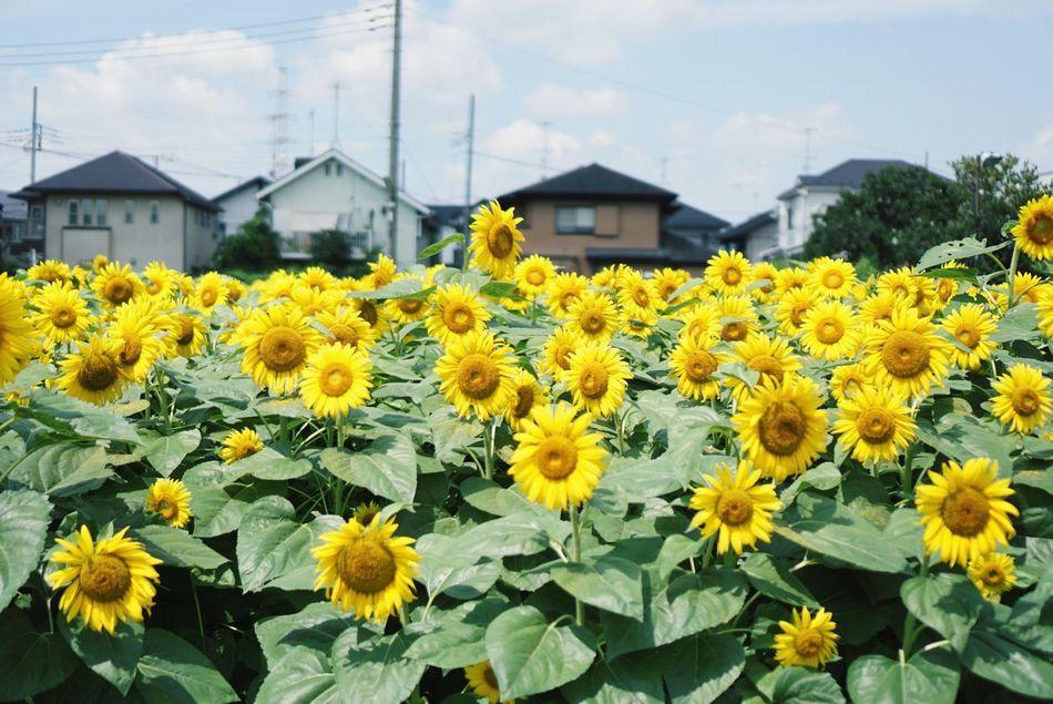ひまわり畑 Sunflower Tokyo Setagaya