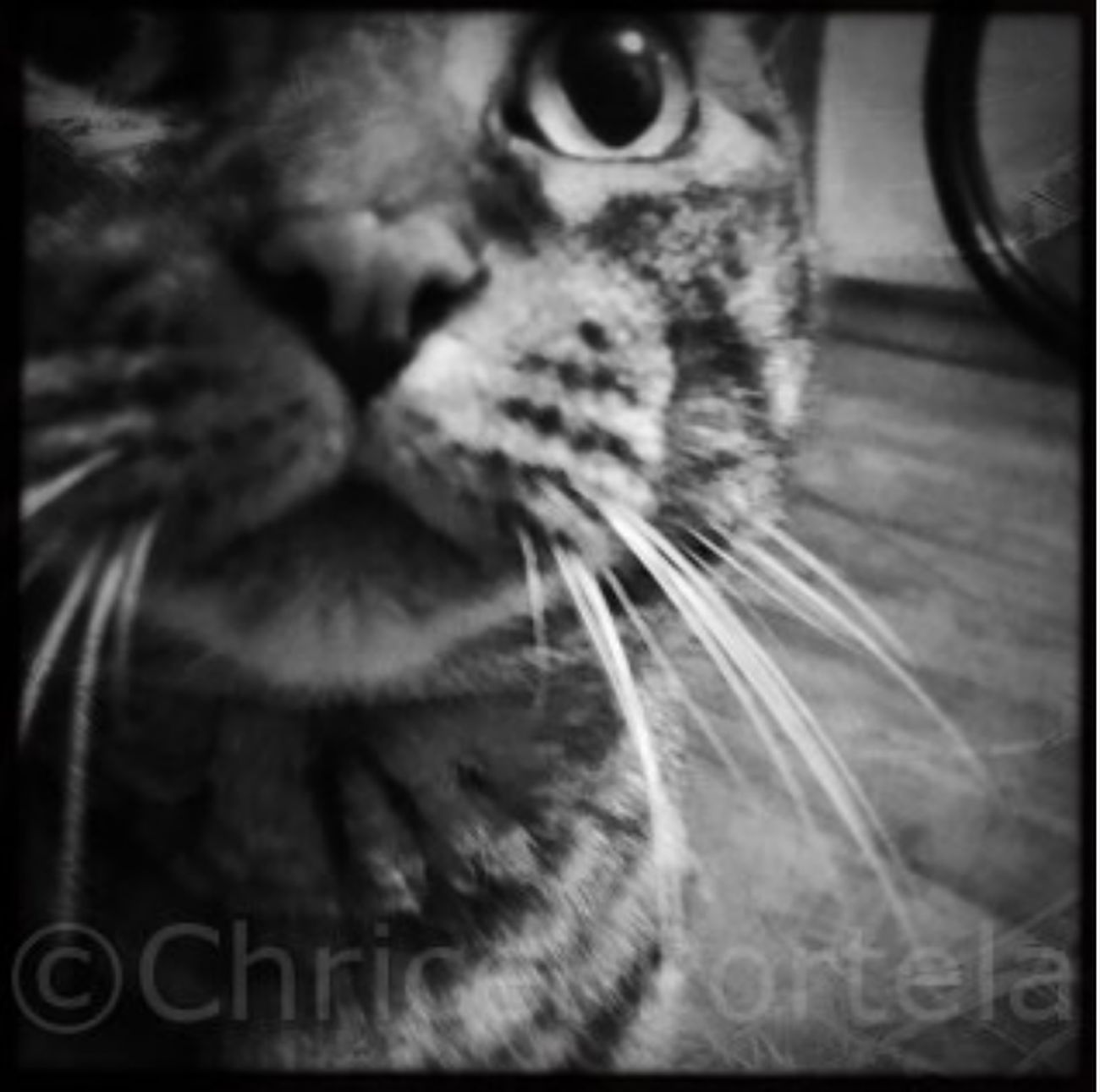 Close-up Day Domestic Animals Domestic Cat Feline Headshot Indoors  Looking At Camera Mammal No People One Animal Pets Portrait Whisker