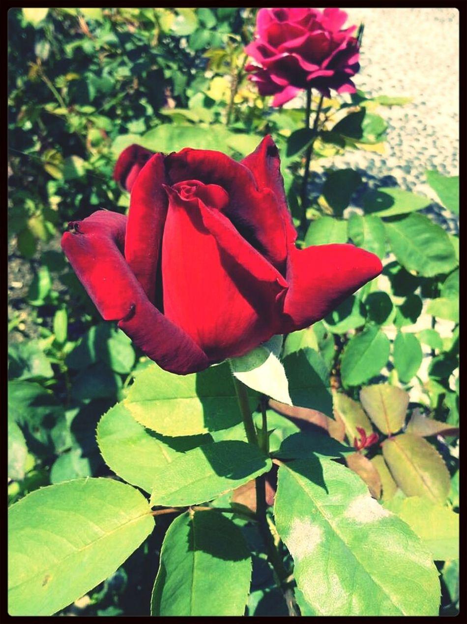 Pretty Rose  Flower Rose♥ ♥