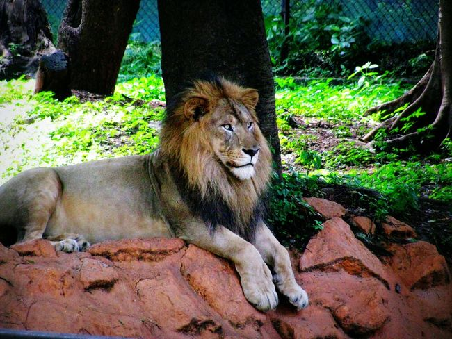 King Of Jungle Mysoor Zoo Incredible India Rare Moment The Moment - 2015 EyeEm Awards Wild Life Adventures Canon Traveling Helloworld