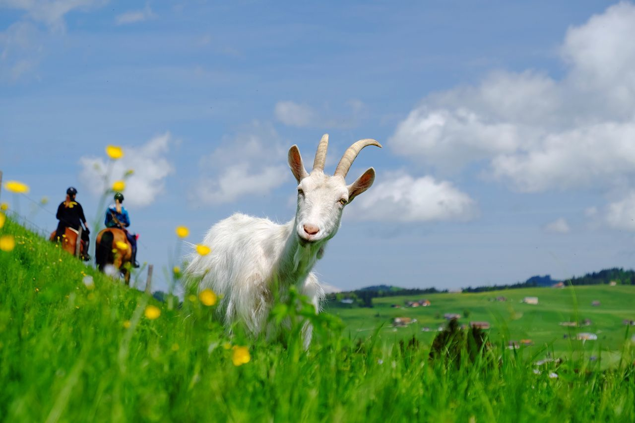 Beautiful stock photos of goat, Animal Themes, Day, Domestic Animals, Flower