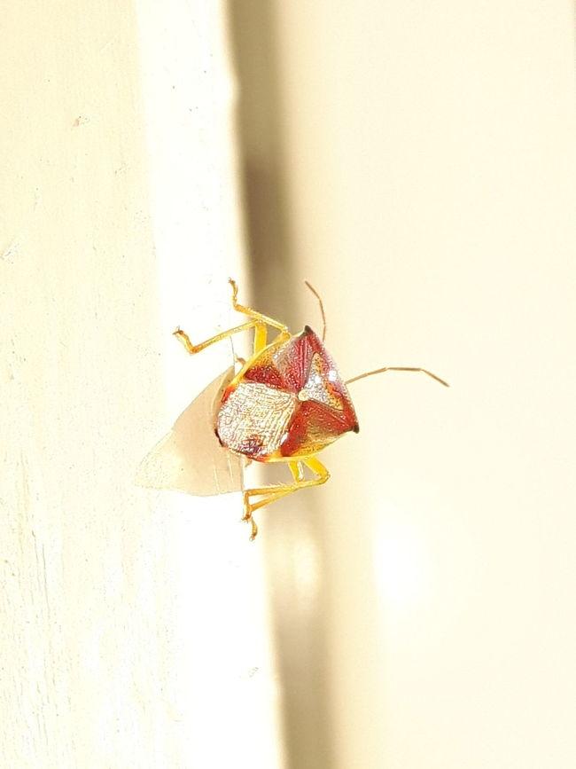 Stinkbug Insect