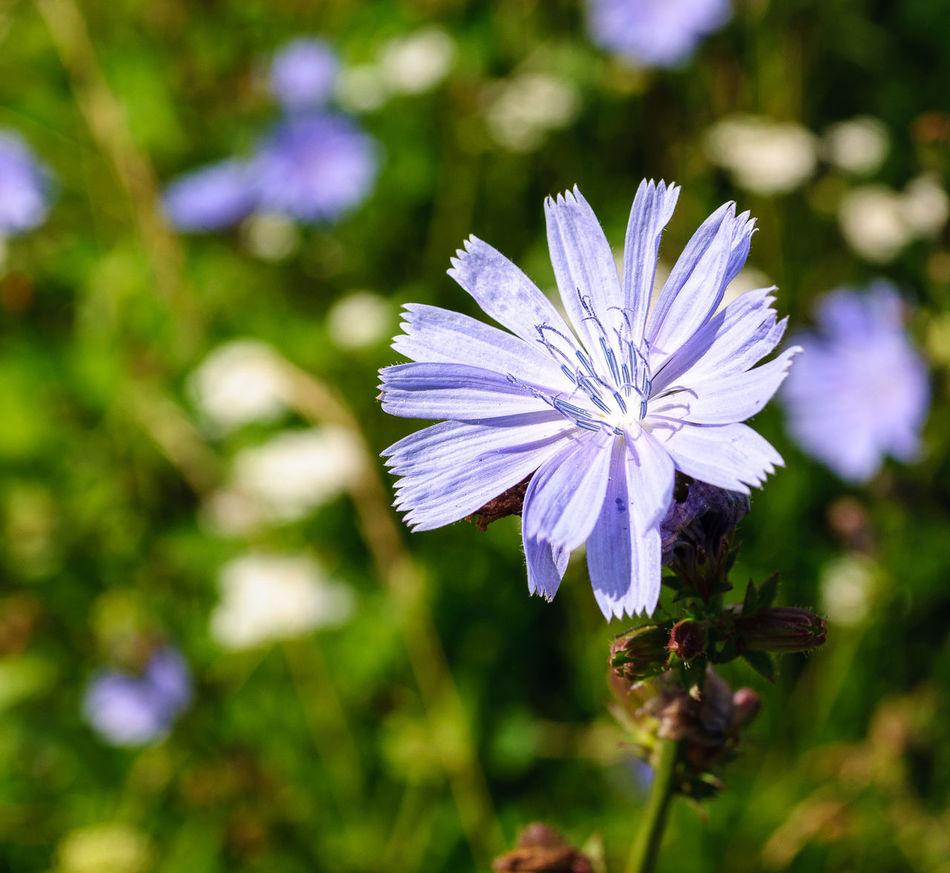 цикорий Chicory Flora