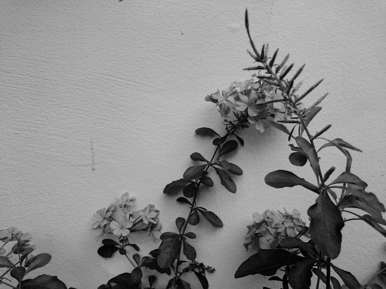XperiaZ3 Blue Plumbago Blackandwhitephoto Outdoor Nature Wall Flowers Blackandwhite