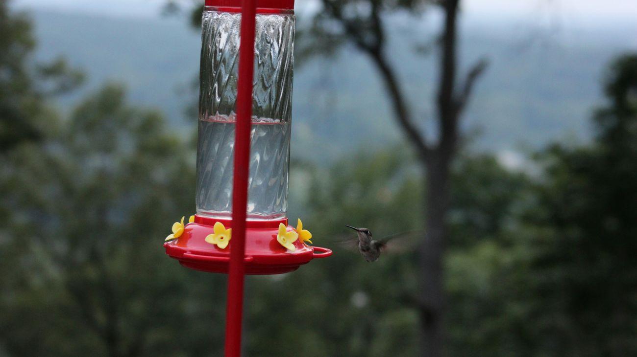 Humming Bird Hummingbird No Edit/no Filter