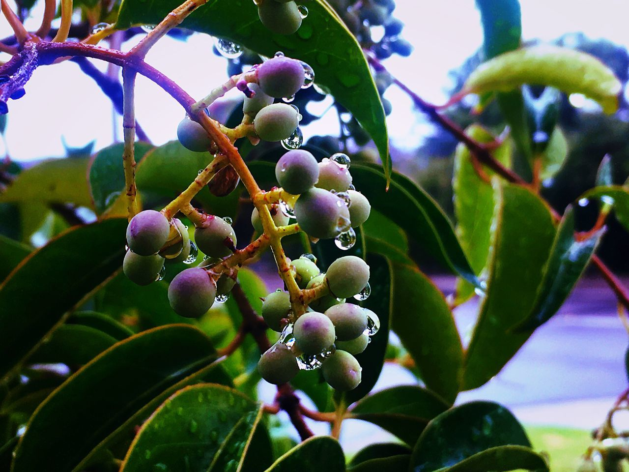 Nature Growth Freshness Fruit Beauty In Nature Greatmoments Close-up Olive Tree Branch Freshness Morning