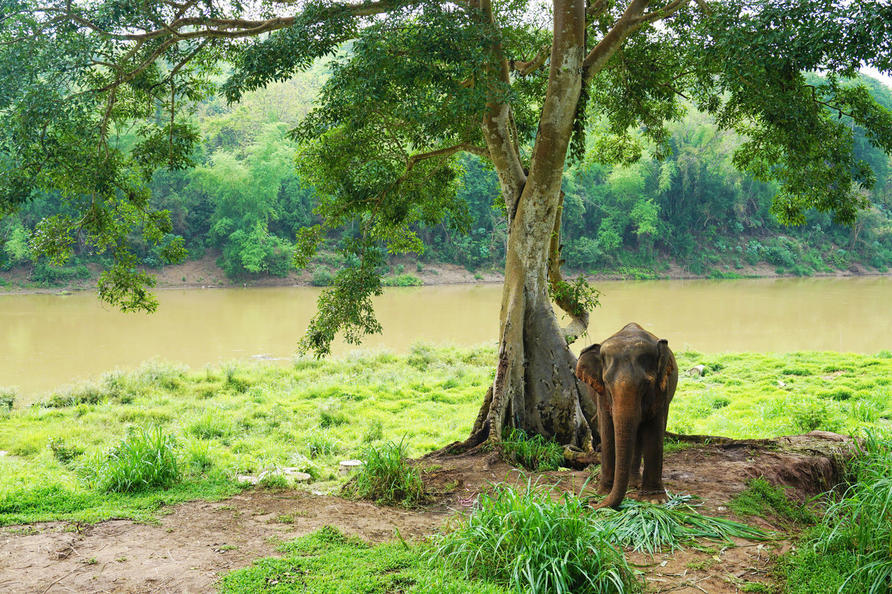 tree, one animal, animal themes, mammal, animals in the wild, day, nature, no people, outdoors, elephant, animal wildlife, field, grass, landscape, domestic animals, standing, beauty in nature, african elephant
